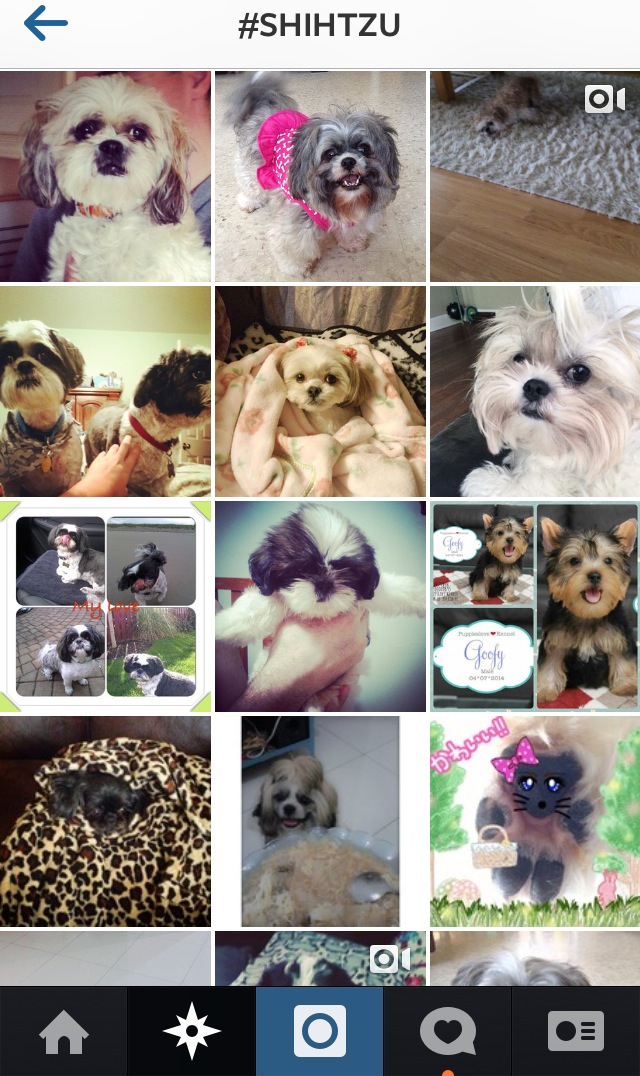 Engaging with other shihtzus on Instagram